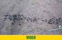 Large ants in Geita, Tanzania