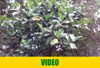 Jackfruit, jack tree or fene, locally fenesi fruit in Entebbe, Uganda, April 12th 2017