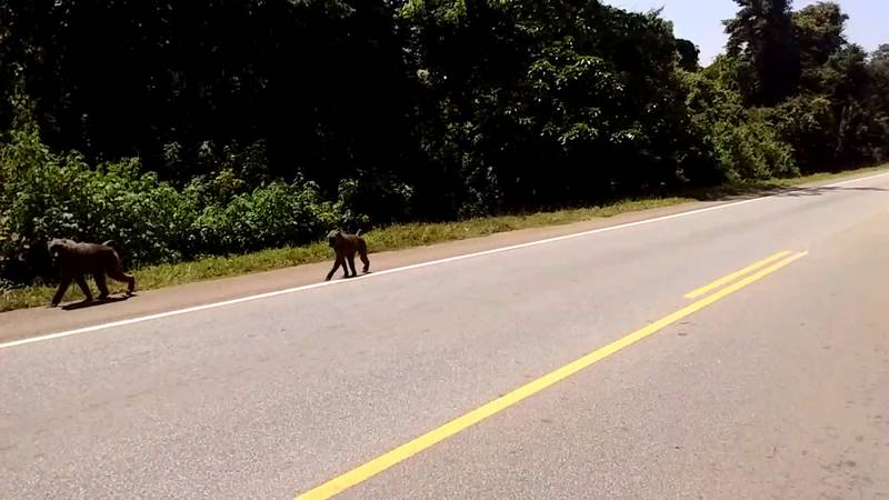 Baboons along the road in Busitema forest in Uganda